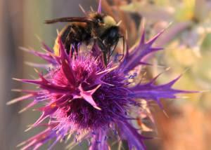 Bee & Eryngo
