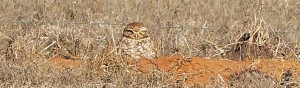 burrowing-owl-at-maddin