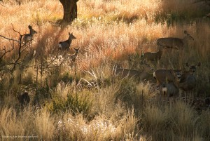 Mule deer pausing in a high elevation prairie patch in the Guadalupe Mountains.